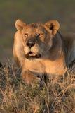 Lionne appelant au coucher du soleil Photographie stock