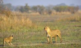 Lionne après chasse avec des animaux. Images stock