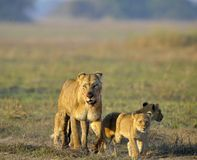 Lionne après chasse avec des animaux. Photographie stock libre de droits