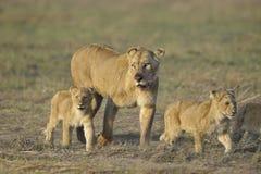 Lionne après chasse avec des animaux. Photos libres de droits