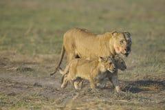 Lionne après chasse avec des animaux. Image libre de droits