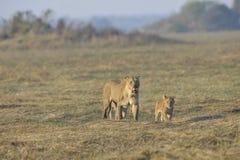 Lionne après chasse avec des animaux. Image stock