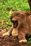 Lionne asiatique Photo stock