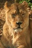 Lionne asiatique Photos stock
