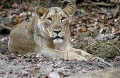 Lionne asiatique Photos libres de droits