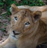 Lionne asiatique rare dans le barrage de Nayyar de parc national, Kerala, Inde Images libres de droits