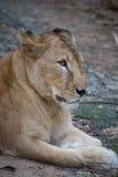 Lionne asiatique rare, Kerala, Inde Photographie stock libre de droits