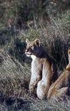 Lionne attentive Photos libres de droits