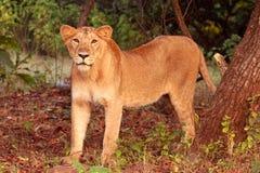 Lionne au stationnement national de forêt de Gir Image stock