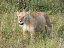 Lionne avec beaucoup de coutils sur son visage et corps dans l'herbe grande o Images libres de droits