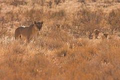 Lionne avec Cubs dans le désert de Kalahari Photos stock