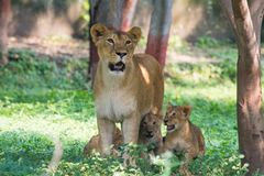 Lionne avec des animaux Photos libres de droits