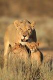 Lionne avec des petits animaux Photographie stock libre de droits
