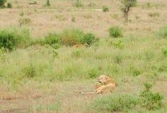 Lionne avec l'petit animal Image stock