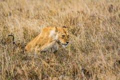 Lionne avec un petit animal Image stock
