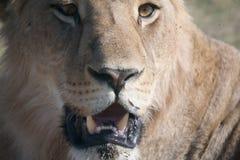 Lionne, Botswana image stock