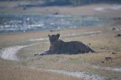 Lionne, Botswana photo stock