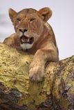 Lionne, bouche ouverte Photographie stock