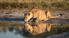 Lionne buvant, Savuti, Botswana image libre de droits