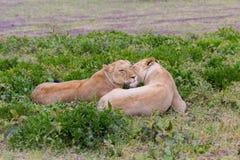 Lionne détendant dans le Serengeti Images libres de droits