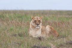 Lionne dans l'herbe Image libre de droits