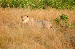 Lionne dans l'herbe grande, parc national de Kruger image libre de droits