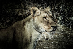 Lionne dans l'obscurité Image libre de droits