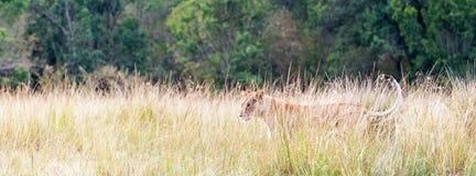 Lionne dans la bannière grande de Web d'herbe de l'Afrique images libres de droits