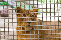 Lionne dans la cage regardant fixement  Photos libres de droits