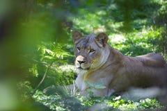 Lionne dans la jungle Images stock
