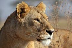 Lionne dans la lumière d'or de matin, Serengeti Image stock
