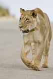 Lionne dans la route Image libre de droits
