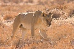 Lionne dans le désert de Kalahari Images libres de droits