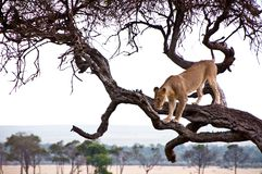Lionne dans le masai Mara Photos stock