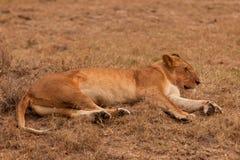 Lionne dans le masai Mara Photo stock