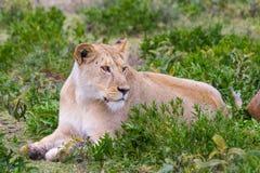 Lionne dans le Serengeti Images libres de droits
