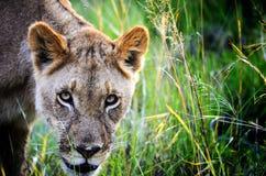 Lionne dans les roseaux Photos stock