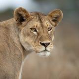 Lionne dans Serengeti, Tanzanie, Afrique Photographie stock libre de droits
