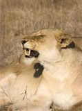 Lionne dans Thornybush Photographie stock