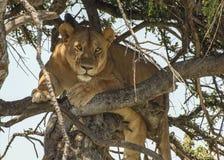 Lionne dans un arbre Images libres de droits