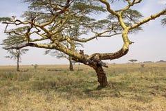 Lionne dans un arbre d'acacia Images libres de droits