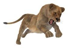 Lionne de chasse Image stock