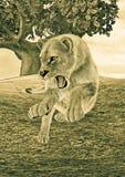 Lionne de chasse Photo libre de droits