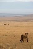 lionne de chasse Photographie stock libre de droits