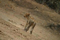 Lionne de chasse au mi jour Images libres de droits