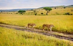 Lionne de deux mères marchant dans la réservation de Mara de masai, Kenya Photographie stock