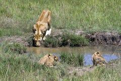 Lionne de mère buvant de la petite piscine photo stock