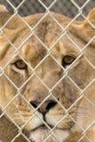 Lionne de regarder Image libre de droits