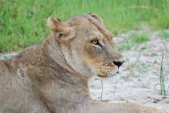 Lionne de repos Images libres de droits