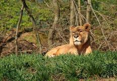 Lionne de repos Image stock